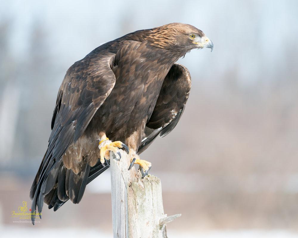 Hawk-1001.jpg