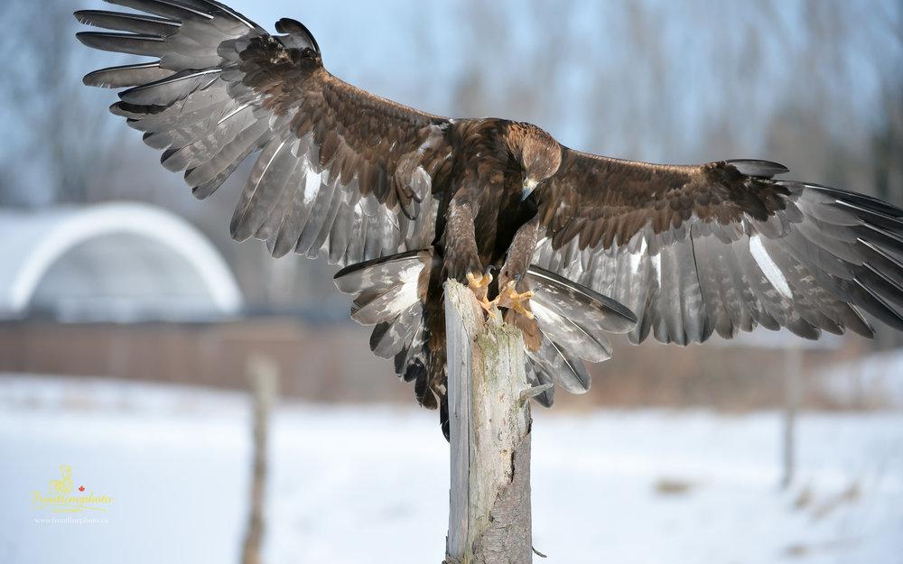 Hawk-1004.jpg