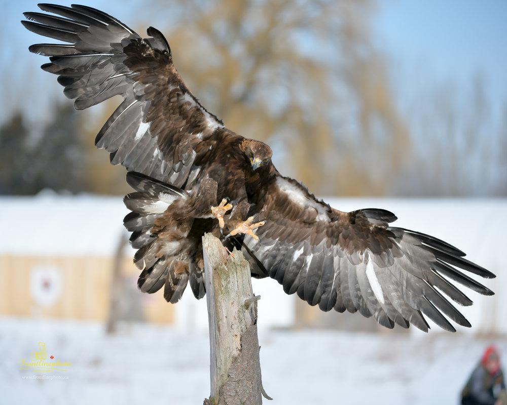 Hawk-1008.jpg