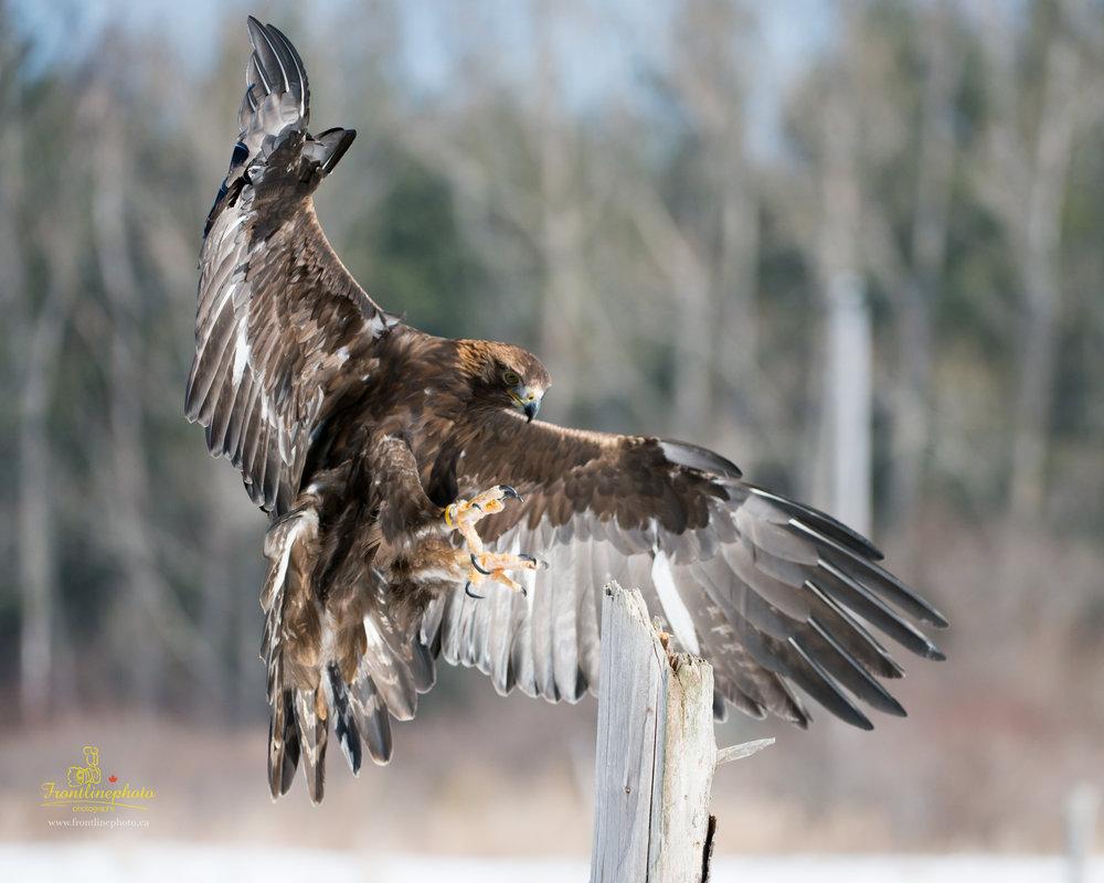 Hawk-1010.jpg