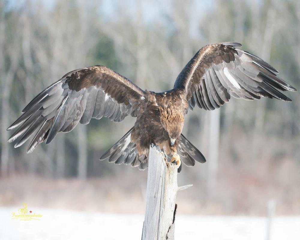 Hawk-1013.jpg