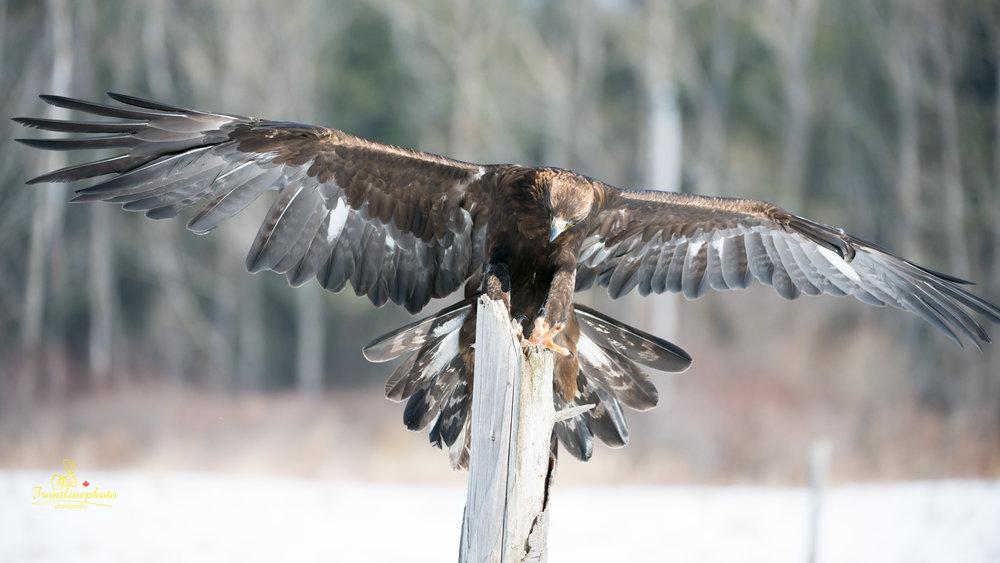 Hawk-1016.jpg