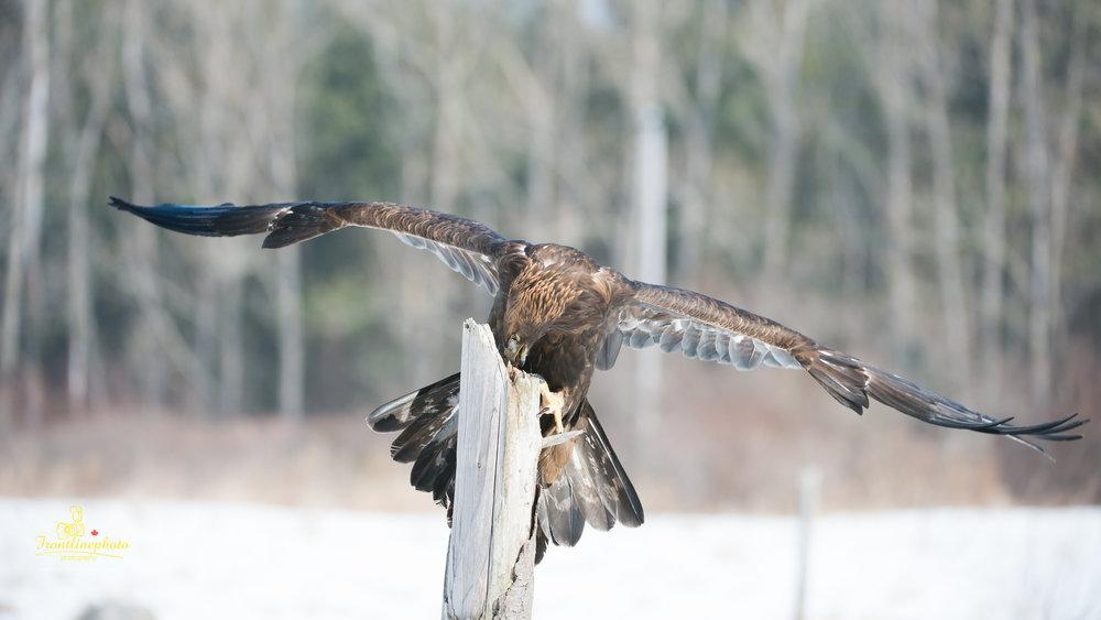 Hawk-1018.jpg