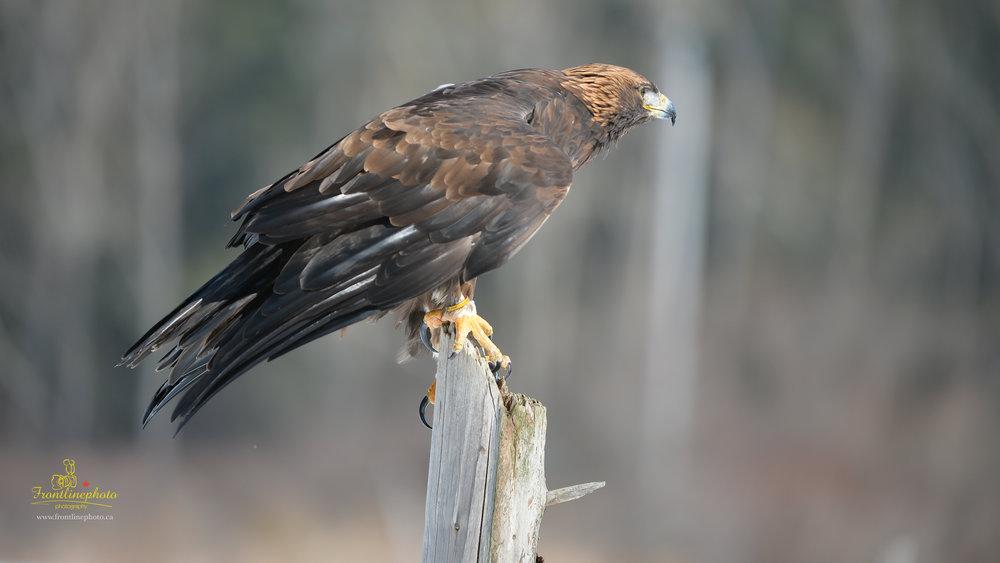 Hawk-1020.jpg
