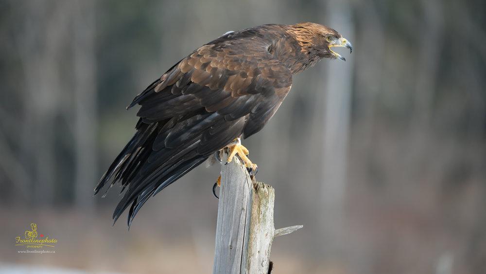 Hawk-1021.jpg