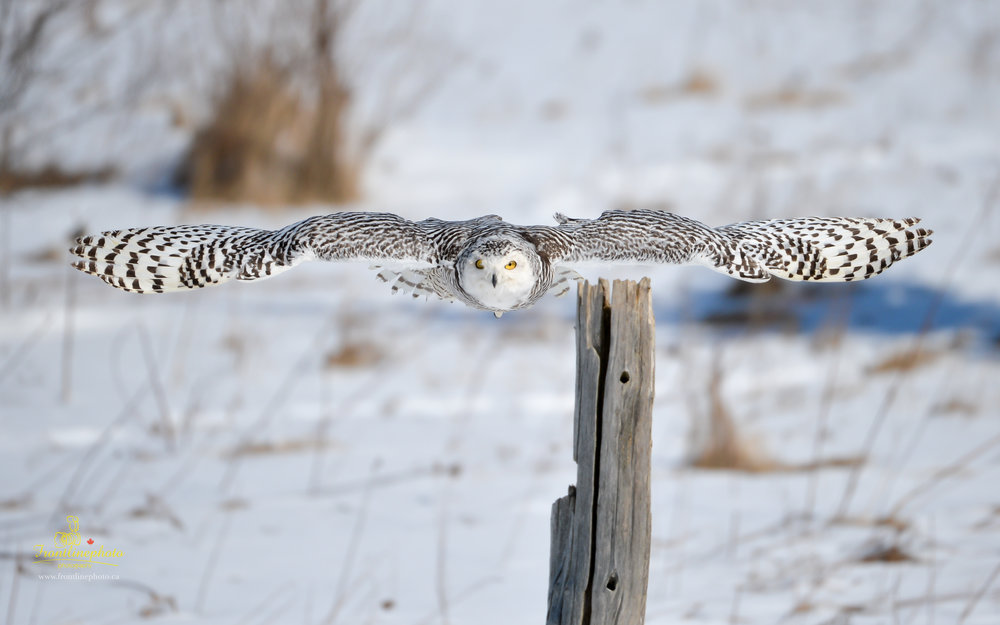 Snow Owl-1001.jpg