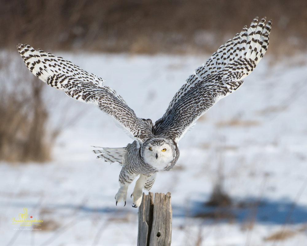 Snow Owl-1003.jpg