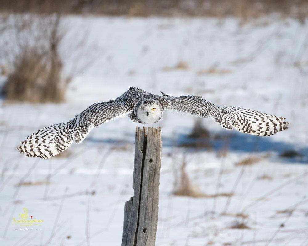 Snow Owl-1004.jpg