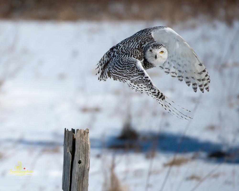 Snow Owl-1006.jpg