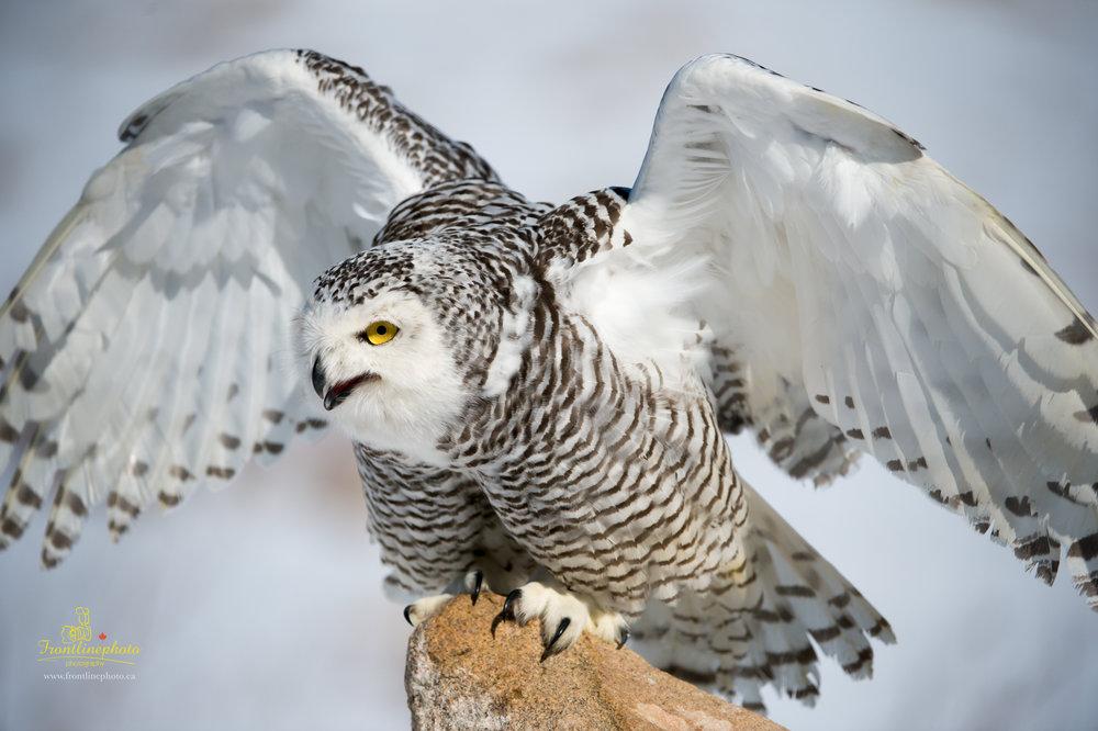 Snow Owl-1005.jpg