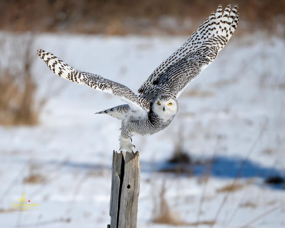 Snow Owl-1008.jpg