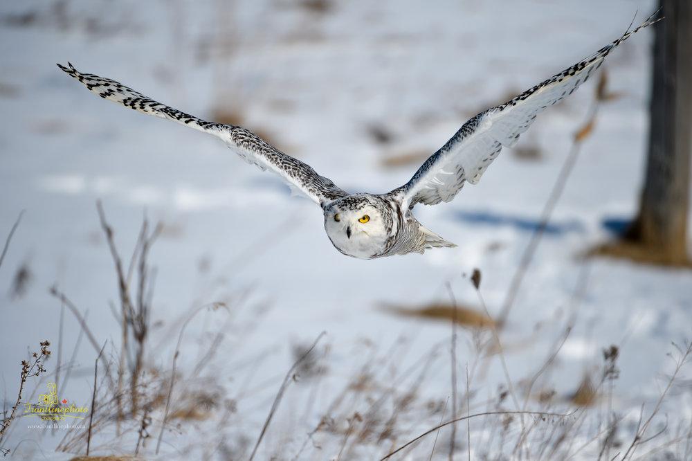 Snow Owl-1009.jpg