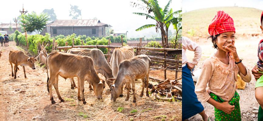 Myanmar_cows&tribegirl.jpg