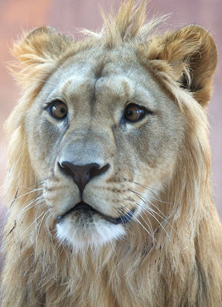 theanimalblog :      Joco the cross-eyed lion is seen at the zoo in Erfurt, Germany. He was born with strabismus last year at the zoo in Hanover.   Picture: MARC TIRL/AFP/Getty Images