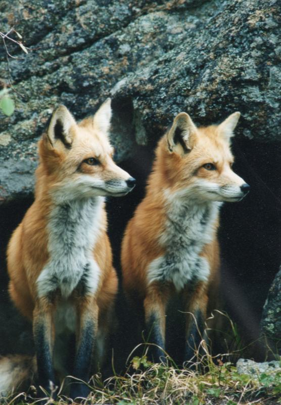 unicornology: phocks: foxes! twin foxes!