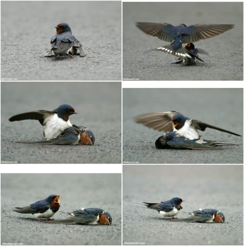 untilmylittleheartgivesout: thelovelybones: The photographs you are about to see show how a very determined male bird tries to save his female mate that has been seriously injured. Here the female bird is injured and her condition is not good. The male bird brings her food and attends to her with love and compassion. Although he tries to help her, she is too badly injured and dies. He is shocked over her death and tries desperately to bring her back to life, trying to pull her up and make her move. He finally realizes that his sweetheart has passed away and will never come back to him, and brokenhearted - he cries over his lost love. He stands by her side, calling and crying for help. He is devastated by her death. Finally realizing that she will never return to him, he stands beside her lifeless body with great sadness and sorrow, unable to leave her side. The photos of these two birds are said to have been taken in the Republic of the Ukraine. This male bird was bound and determined to save his female mate. The photographer sold these pictures for a small price to one of the most famous newspapers in France. All the copies of that newspaper were sold out on the day they published these photos.