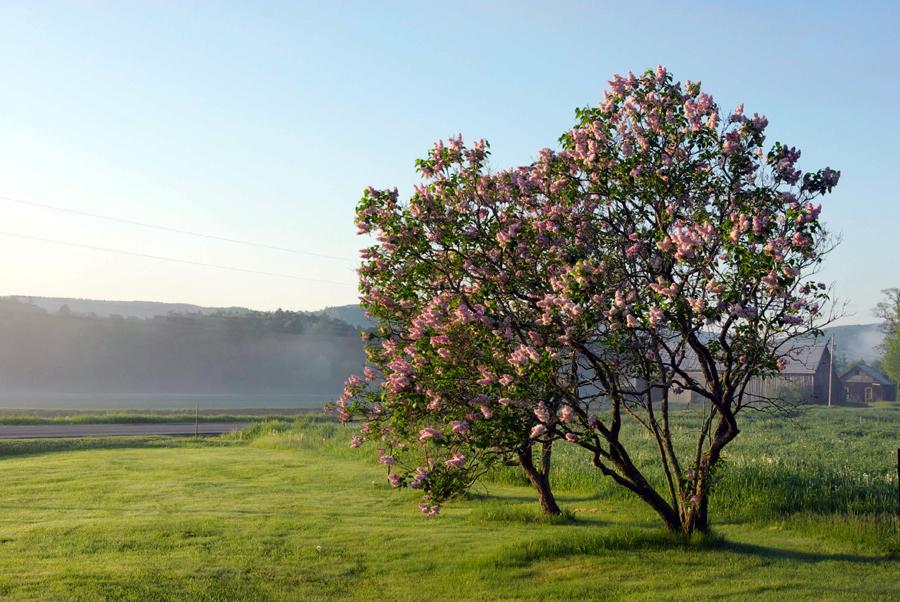 pinktreeinmeadow.jpg