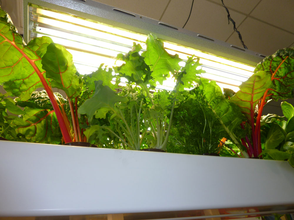 Kale, herbs and chard thrive under T5 fluorescents.