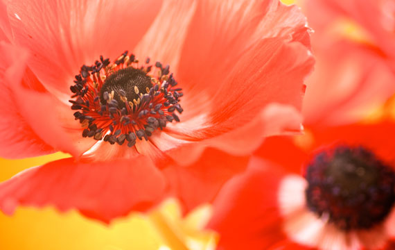 Featured-Images-Template_poppy