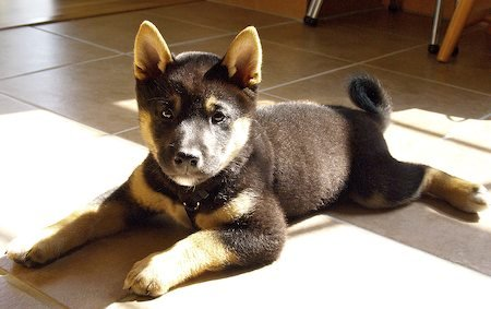 The Daily Puppy / Gibson the Shiba Inu