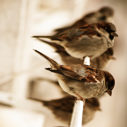 Fat birds! photoholic: Sparrows (via Saul GM)