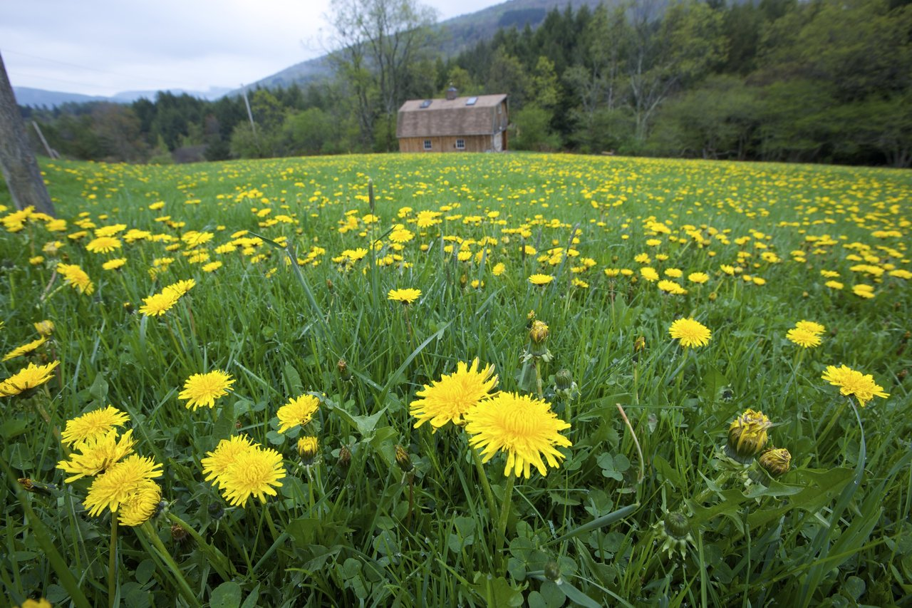 Fields of dandelions are beautiful.