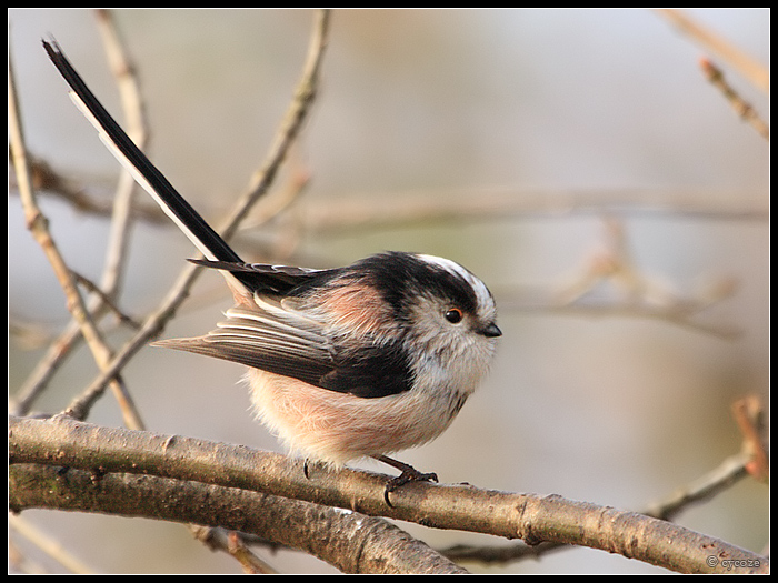 This bird is so fat it barely has a face.  I'm in love.   Long Tailed Tit   ( by *cycoze on deviantART )