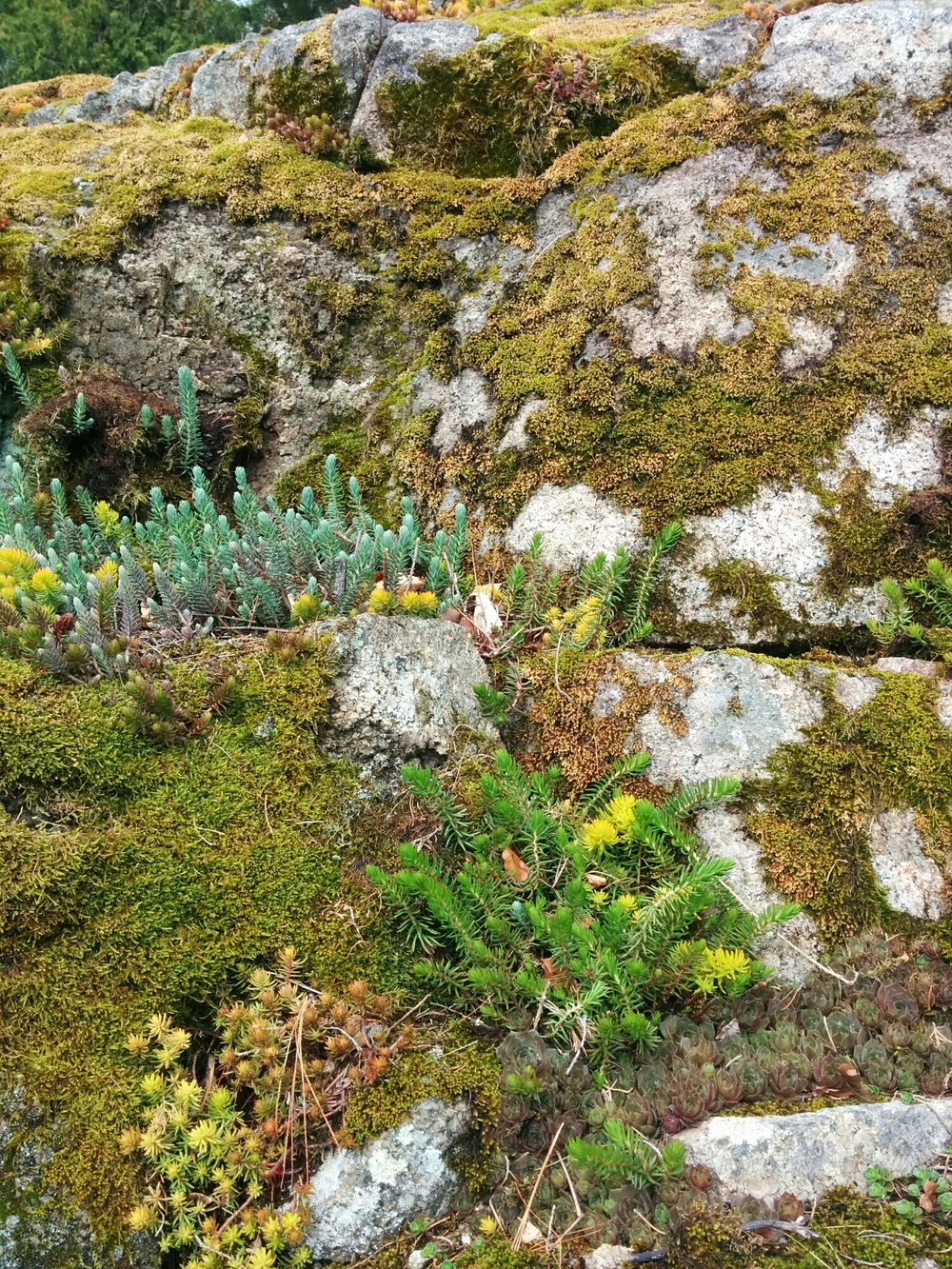 Sedum planted in the crevice of a stone outcropping.