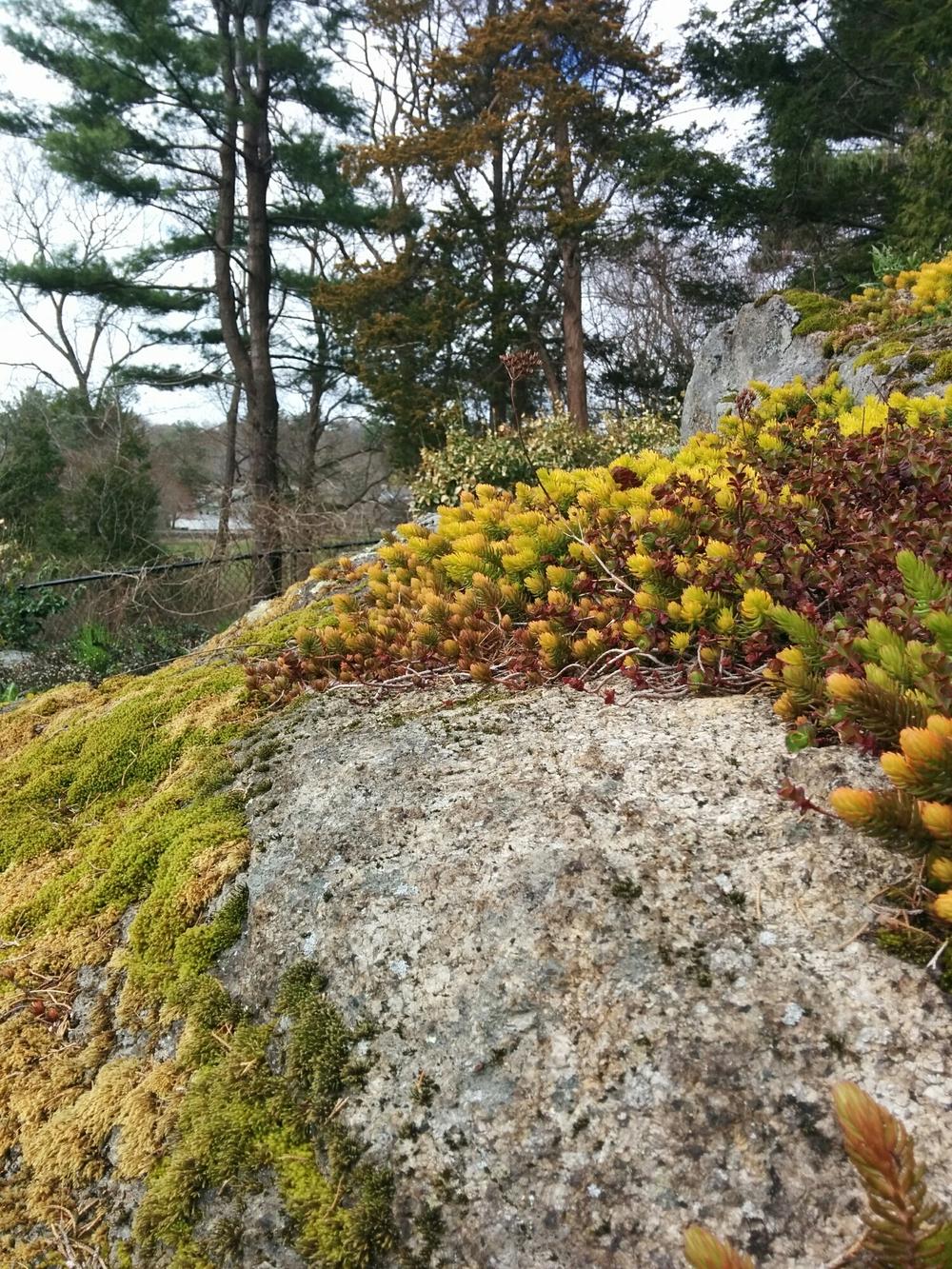 Sedum and moss on ledge.