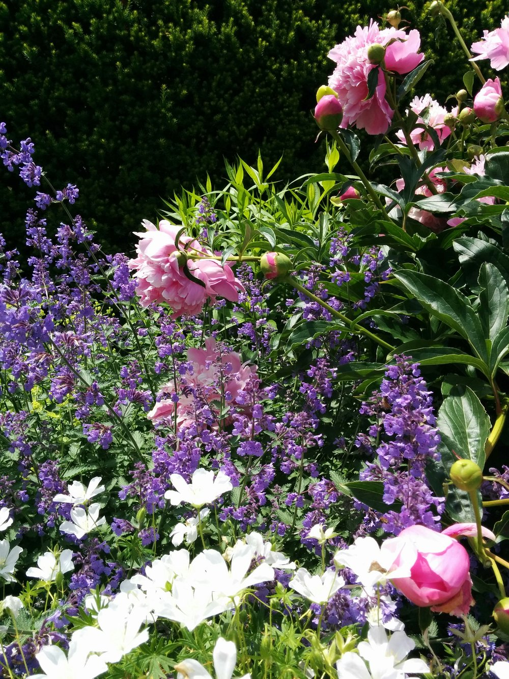 Perennial Garden With Peony, Catmint, and Cosmos
