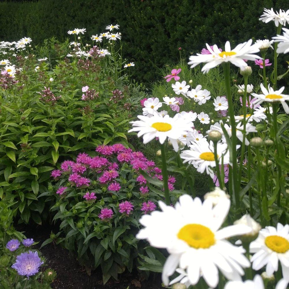 Perennial Garden With Daisy, Bee Balm, Phlox , and Scabioca