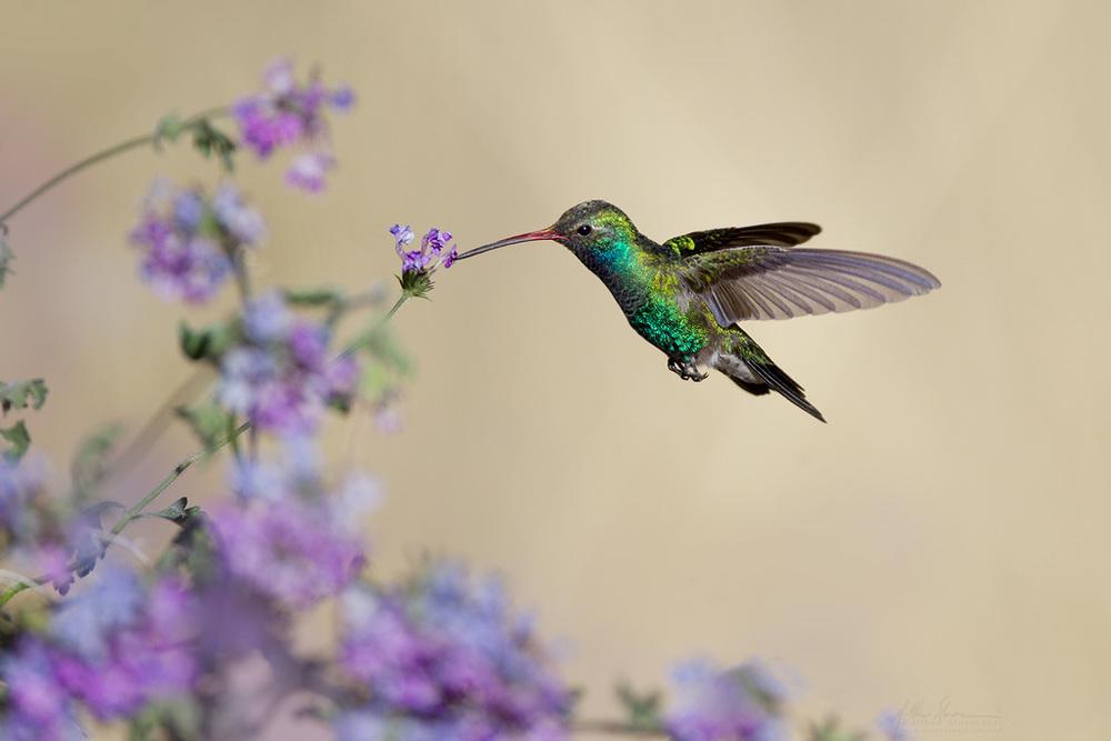 broad-billed_hummingbird_00420189w10.jpg