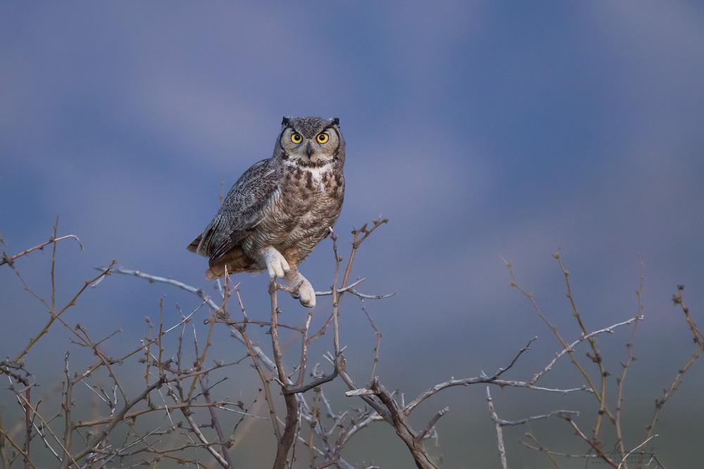 great_horned_owl_00423277w10.jpg