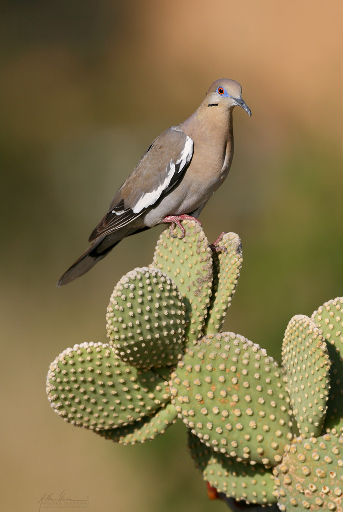 white-winged_dove_h5916w10.jpg
