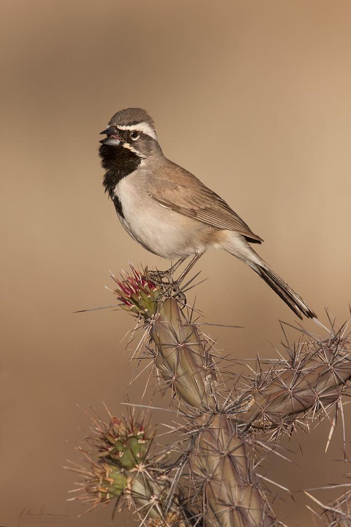 black-throated_sparrow_3554w10.jpg