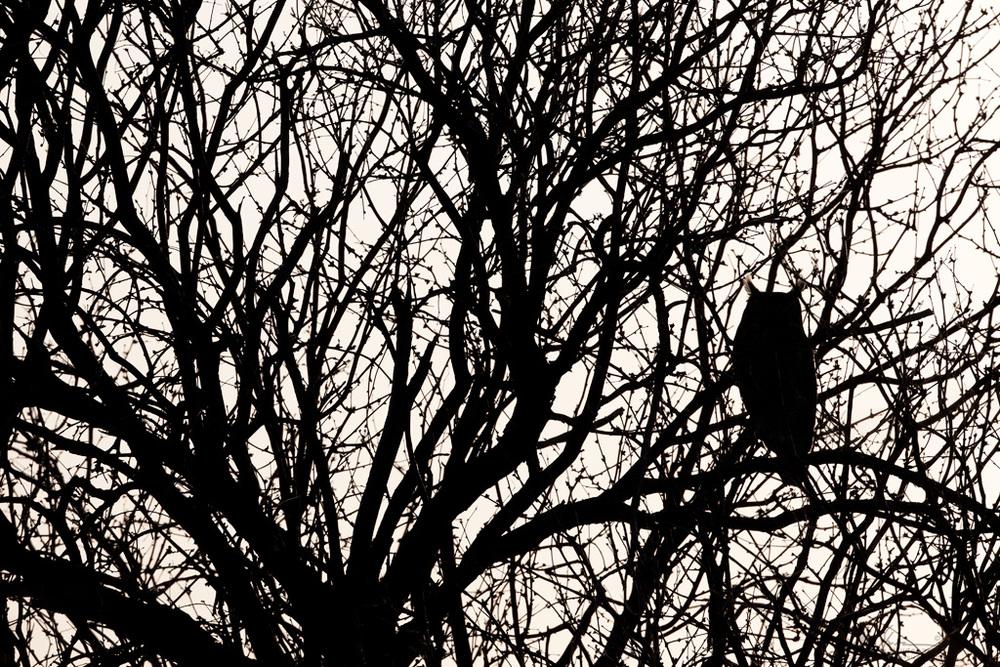 great-horned_owl_7460w10.jpg