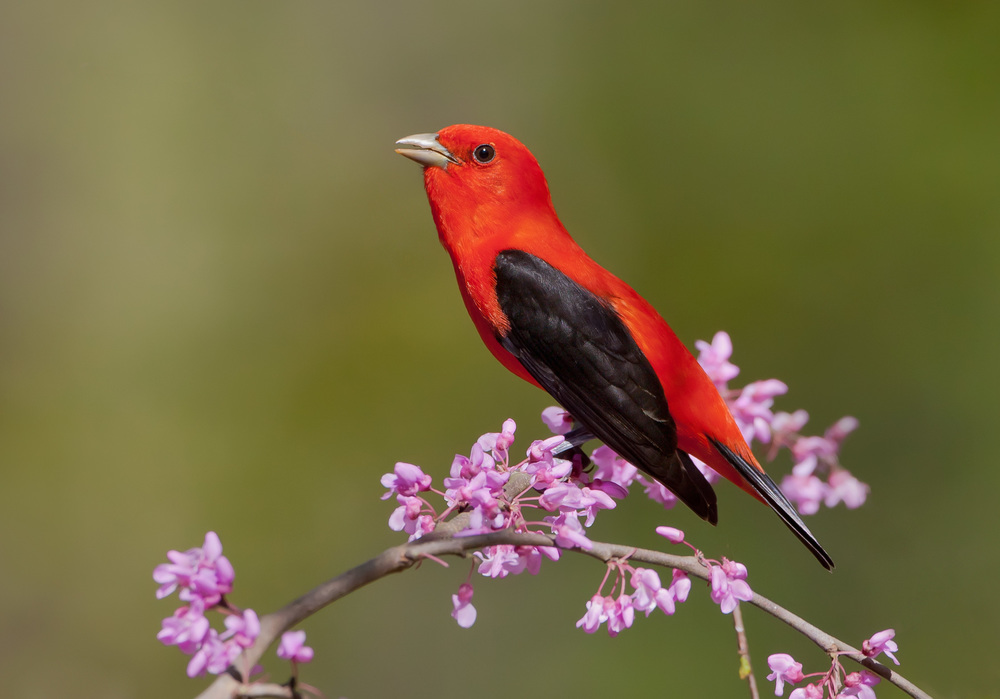 scarlet_tanager_MG_1917c.jpg