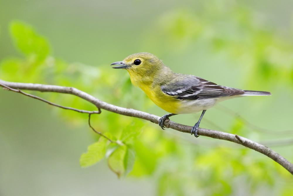 yellow-throated_vireo_EI8C0209633b.jpg