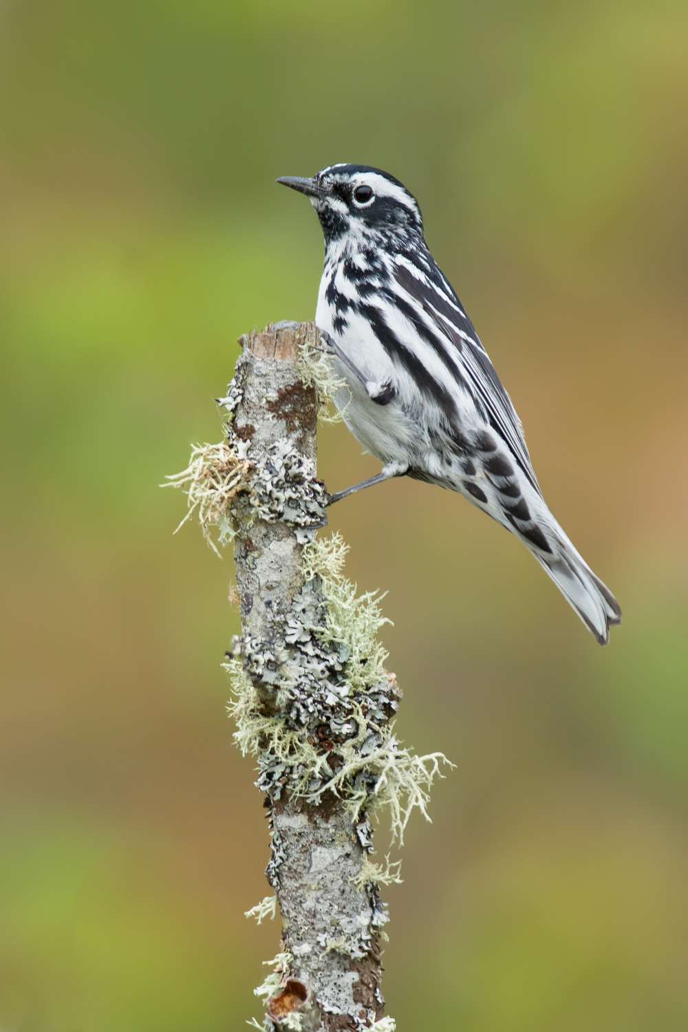black-and-white_warbler_EI8C0314451b.jpg
