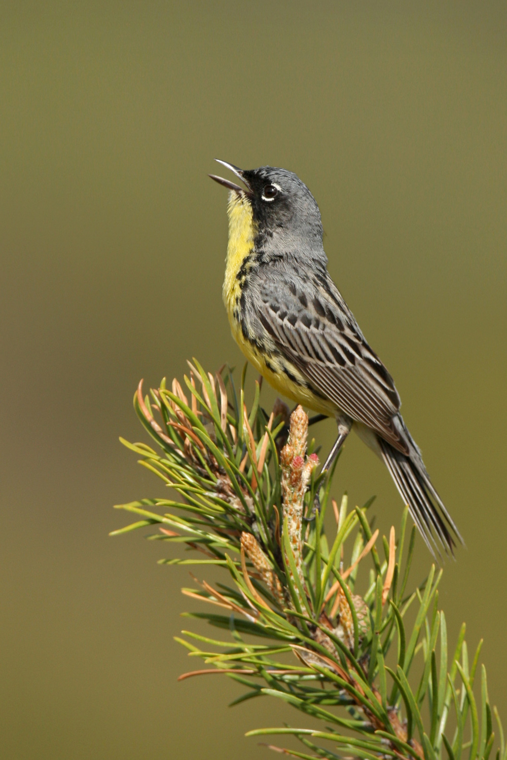 kirtlands_warbler_USA_Michigan_0161579b.jpg