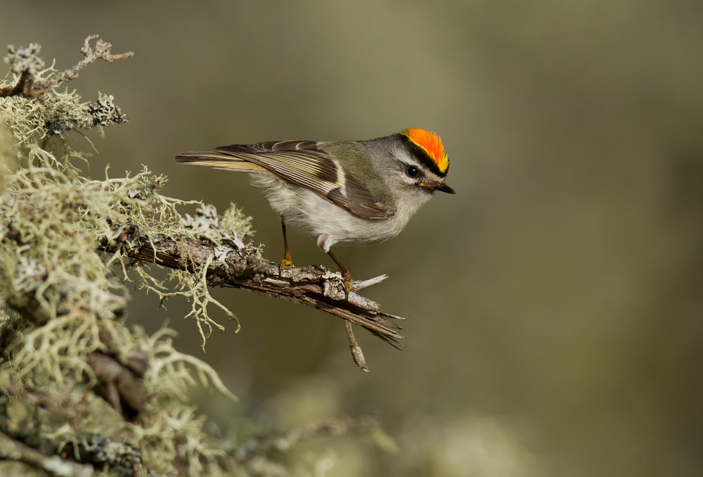 golden-crowned_kinglet_EI8C0313883b.jpg