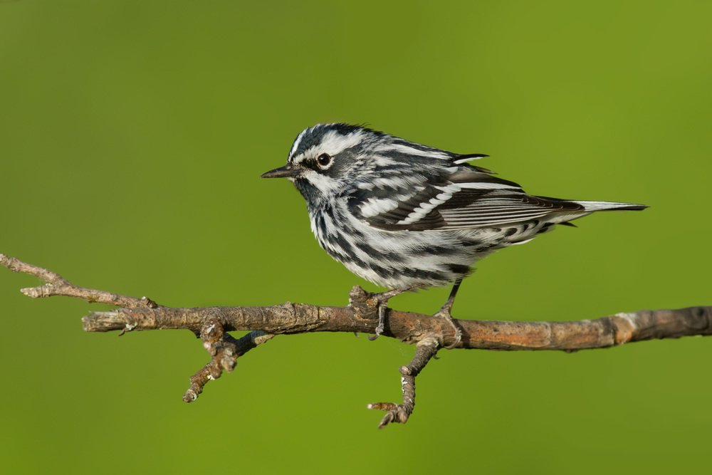 black-and-white_warbler_0383680B.jpg