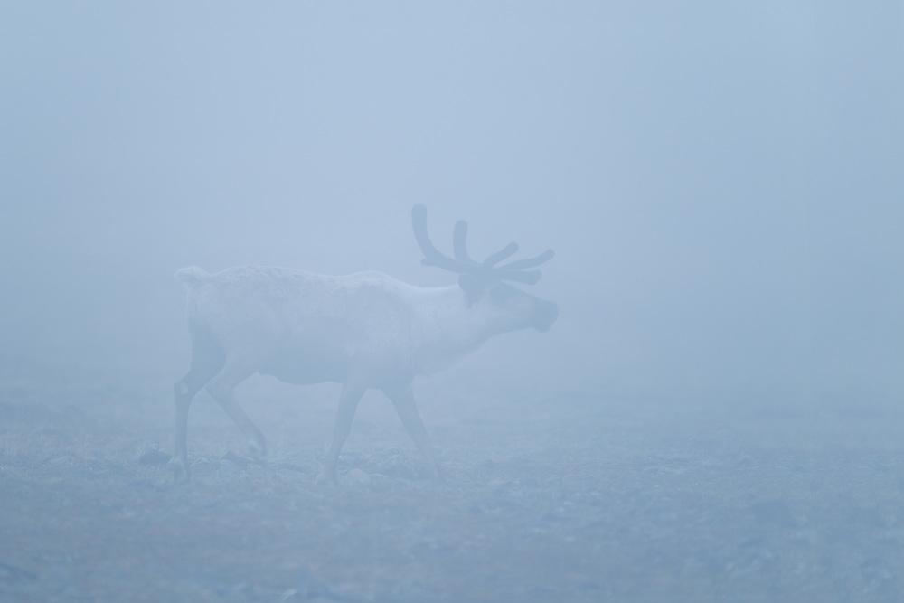 caribou_EI8C0013b.jpg