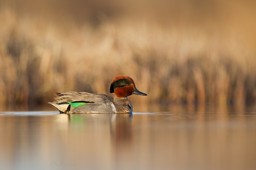green-winged_teal_00398270w10.jpg