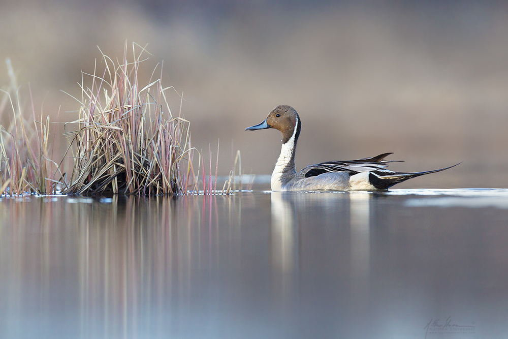 northern_pintail_00398373w10.jpg
