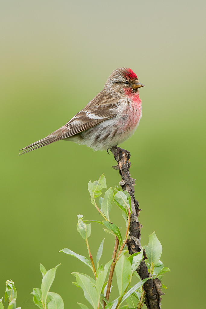 common_redpoll_EI8C0326723w10.jpg