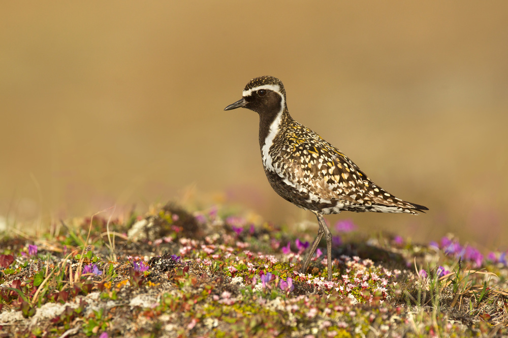 pacific_golden_plover_00406867a.jpg