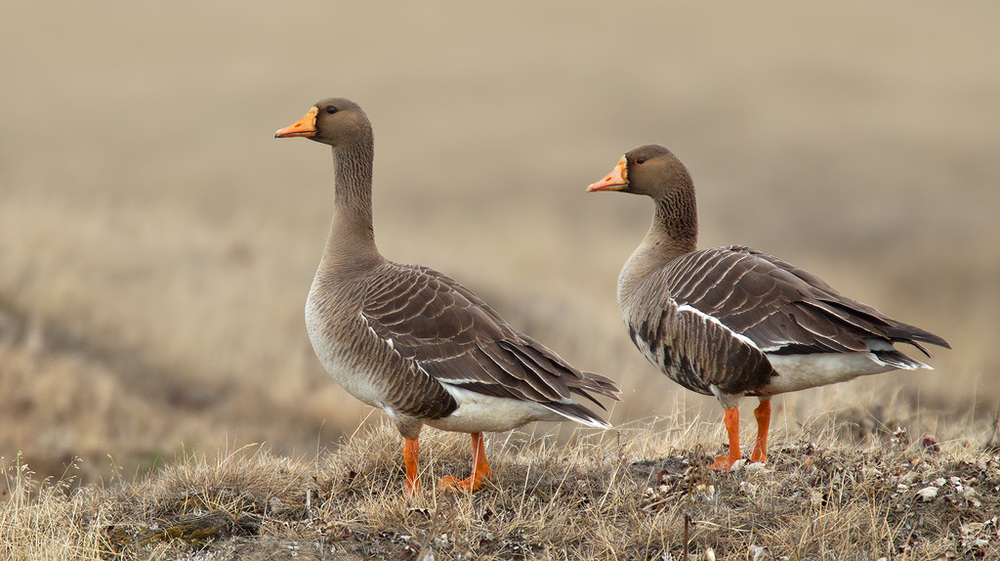 greater_white-fronted_goose_EI8C0339197w10.jpg