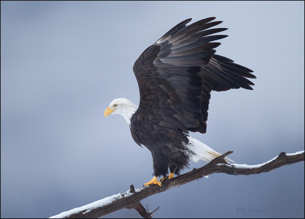bald_eagle_00426765w10.jpg