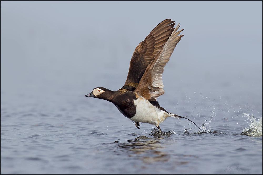 long-tailed_duck_EI8C0329620x1024w.jpg